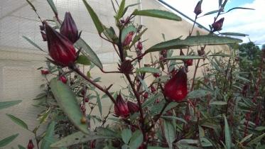 Rosella bushes